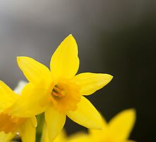 Close-up Yellow Spring Daffodils by Camille Wesser