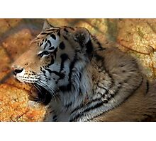 Tiger Tiger Photographic Print
