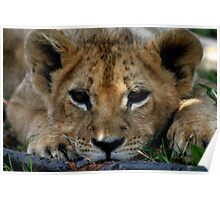 Baby Lion Cub - Free State Poster