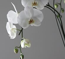 white orchids by tania oloy