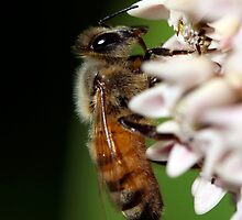 Honeybee Macro by Renee Blake