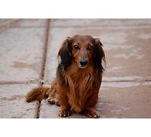 Dachshund Portrait Photographic Print