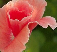 Peach Ruffles by Tracy Wazny