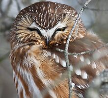 Northern Saw-Whet Owl by Jean-Paul Fournier