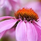 Pink Coneflower by PhotosByHealy