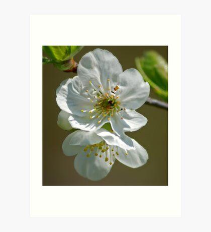 Plum Blossom Art Print