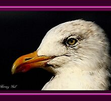 The Herring Gull by snapdecisions