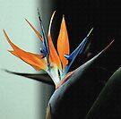 Bird of Paradise by RebeccaBlackman