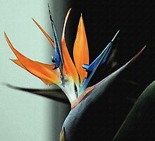 Bird of Paradise by RebeccaBlackman