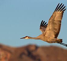 BIF Sandhill Crane 2 by kurtbowmanphoto