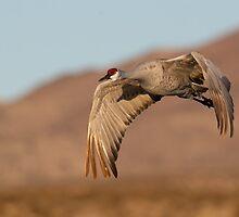 BIF Sandhill Crane 15 by kurtbowmanphoto