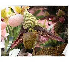 Turban Orchid Poster