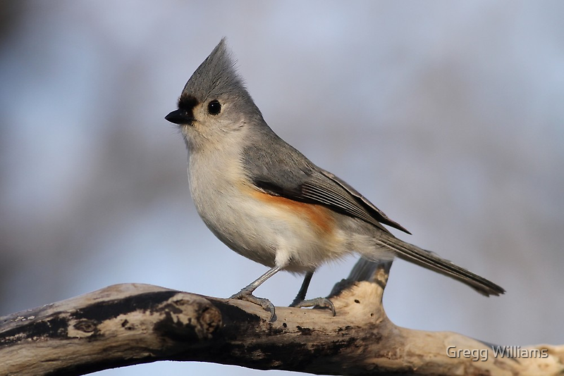 Tufted Titmouse by Gregg Williams