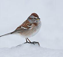 American Tree Sparrow by (Tallow) Dave  Van de Laar