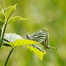 Green Veined White Butterflies by AnnDixon