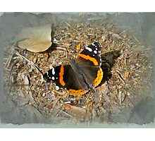 Red Admiral (Vanessa atalanta) Butterfly Photographic Print