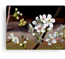 Pear Tree Blossoms - Sweet Blooms Canvas Print