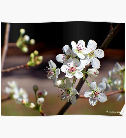 Pear Tree Blossoms - Sweet Blooms Poster