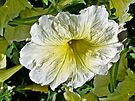 White Petunia (Solanaceae) by MotherNature