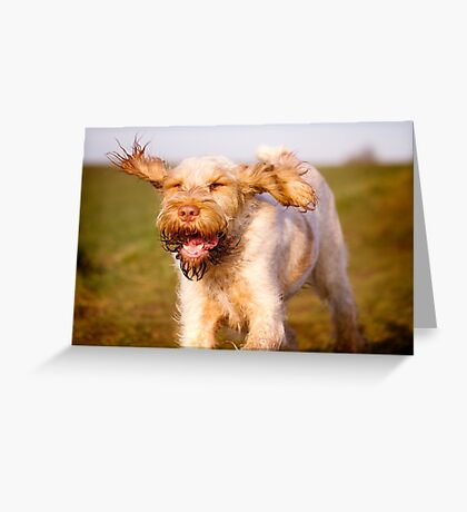 Orange and White Italian Spinone Dog in Action Greeting Card
