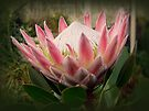 Spectacular Pink by Lucinda Walter