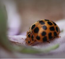 Ladybird on Petal by yolanda