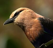 Blue-Bellied Roller by Mark Hughes