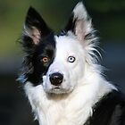 Patch-Border Collie by Grant Glendinning