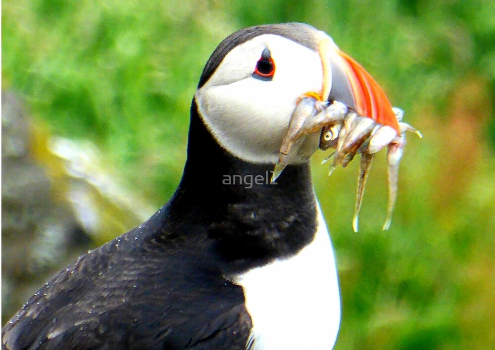 Puffin by ©The Creative  Minds
