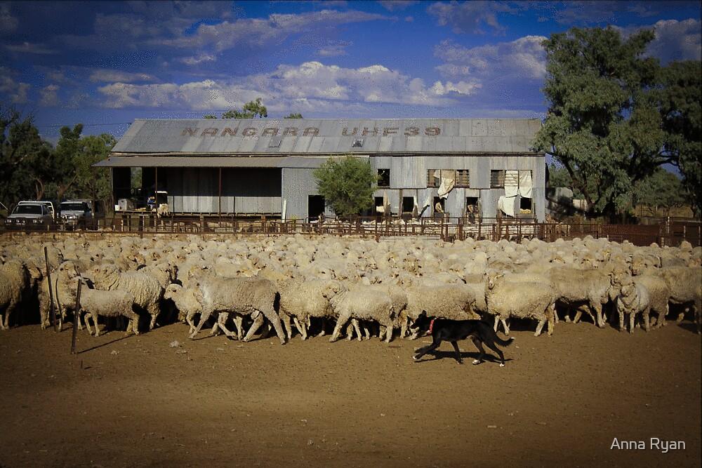 Shearing Sheep!  by Anna Ryan