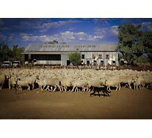 Shearing Sheep!  Photographic Print