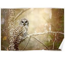 Barred Owl - Woodland Fellow Poster
