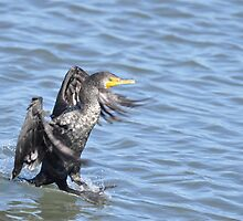 Cormorant Water Skiing by imagetj