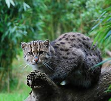 Fishing cat 1 by 29Breizh33