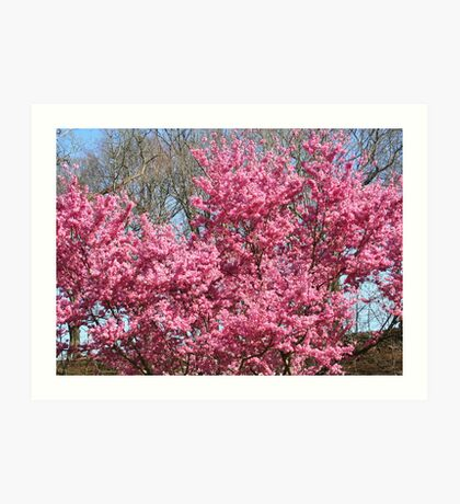 Cherry Trees in Full Bloom Art Print