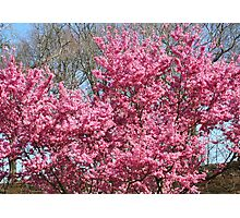 Cherry Trees in Full Bloom Photographic Print