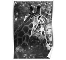 Kruger Park Giraffe Poster