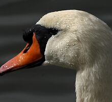 Mute Swan Close-Up by Mark Hughes