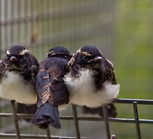 Three little birds - Willy Wagtails by Carmel Williams