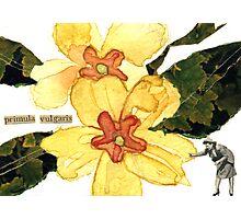 Primula Vulgaris (Primrose) Photographic Print