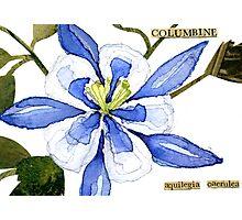 Aquilegia caerulea (Columbine) Photographic Print