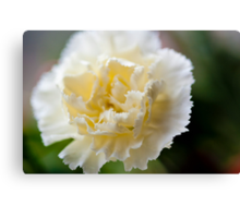 Cream of Carnation Canvas Print