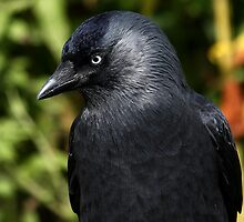 Jackdaw by Mark Hughes