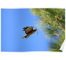 Red Tail Hawk Nesting Poster