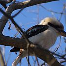 Kookaburra on high by BronReid