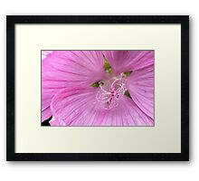 Pink Annual Mallow Framed Print