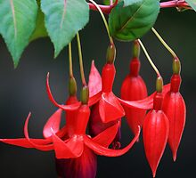 Fuschia Blossoms by May-Le Ng