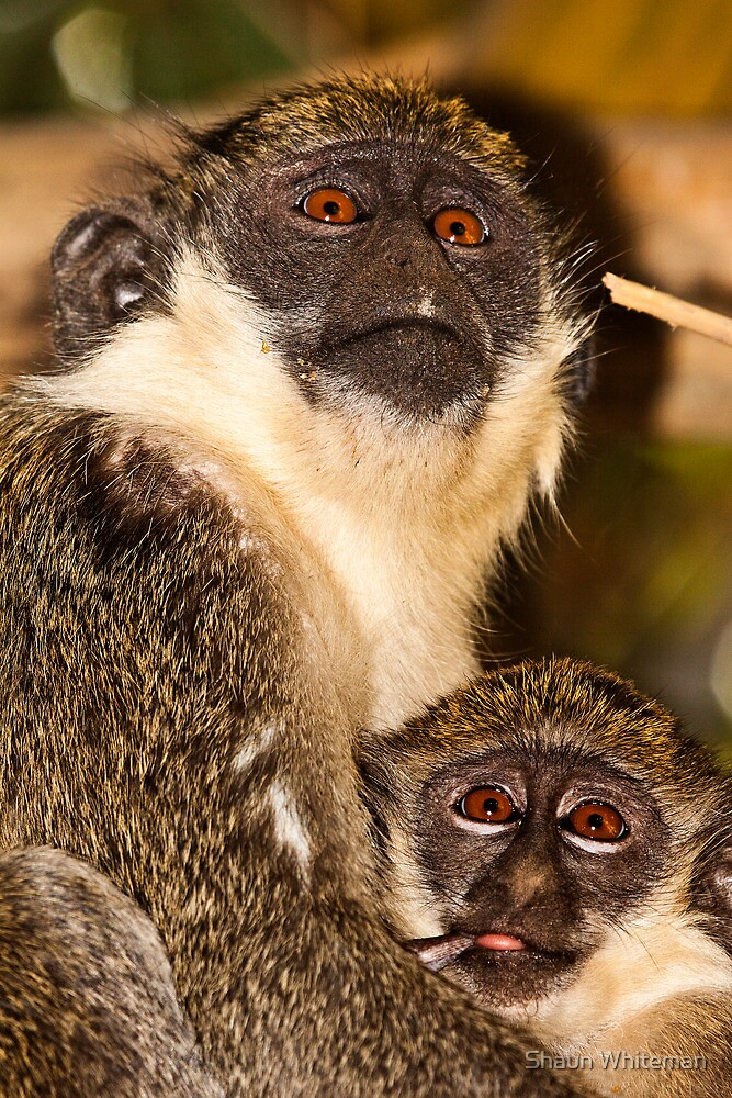 Green monkey mother and young by Shaun Whiteman