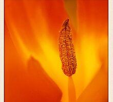 orange tulip by cesanciano