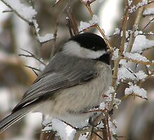 Chilly Chickadee by briansbabe